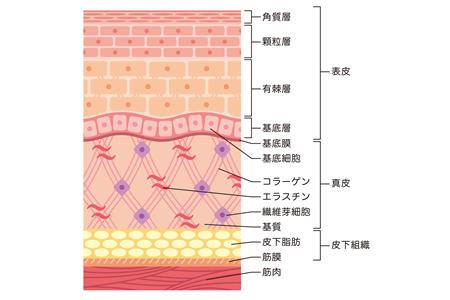 肌の構造や仕組み